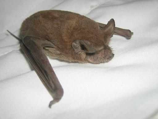 Bats Nesting